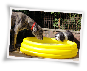 Dogs drinking from a paddling pool